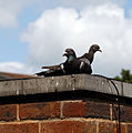 Church Street pigeons Broadstairs St Peters Kent England.jpg