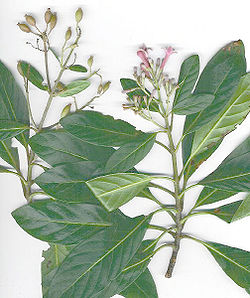 Cinchona calisaya - Wikispecies