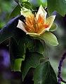 "Cincinnati - Spring Grove Cemetery & Arboretum ""Tulip Poplar Tree Flower"" (34511079820).jpg"