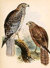 Circus spilonotus 1863.jpg