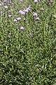 Cirsium arvense carriere-saint-maximin 60 01072008 01.jpg
