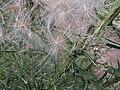 Cirsium vulgare, pappus, speerdistel (1).jpg