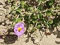 Cistus albidus (plant).jpg
