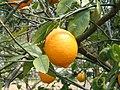 Citrus latifolia1SHSU.jpg