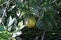 Citrus x sinensis Temple 2zz.jpg