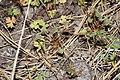 Claytonia perfoliata 9499.JPG