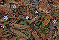 Claytonia virginica spring beauty many.jpg