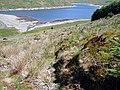 Clear fell at Bryn Gwyn - geograph.org.uk - 1040408.jpg