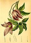 Clematis alpina Atlas Alpenflora.jpg