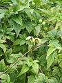 Clematis serratifolia (20982763868).jpg