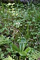 Clintonia udensis (Convallariaceae) (36144250006).jpg