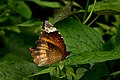 Close wing Basking activity of Elymnias hypermnestra (Linnaeus, 1763) – Common Palmfly (Female) WLB DSC 6485.jpg