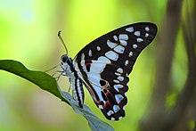 Close wing position of Graphium doson Felder & Felder, 1864 – Common Jay KAMALPUR.jpg