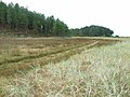 Coastal marsh and plantation, Newborough Forest - geograph.org.uk - 226514.jpg
