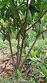 Cocoa tree 4.jpg