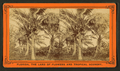 Cocoanut (Coconut) trees showing fruit, from Robert N. Dennis collection of stereoscopic views.png
