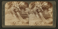 Cocoanut (coconut) trees in the white sands of Florida, U.S.A, from Robert N. Dennis collection of stereoscopic views 10.png