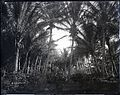 Coconut Grove (3), Ainahau, photograph by Brother Bertram.jpg