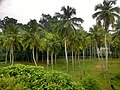 Coconut Trees Trivandrum.jpg