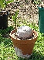 comment planter noix de coco