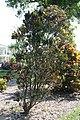 Codiaeum variegatum Red Tortulas 5zz.jpg
