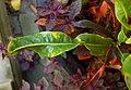 Codiaeum variegatum var. pictum Leaf Closeup 2900px.jpg