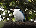 Collared Kingfisher Todiramphus chloris by Dr. Raju Kasambe DSCN0915 (47).jpg