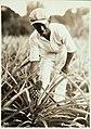 Collectie Nationaal Museum van Wereldculturen TM-60062385 Ananasplant Haiti fotograaf niet bekend.jpg