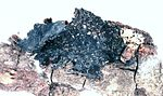 Collema nigrescens.jpg