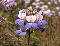 Collinsia grandiflora.jpeg