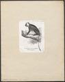 Colobus polycomus - 1700-1880 - Print - Iconographia Zoologica - Special Collections University of Amsterdam - UBA01 IZ19900043.tif