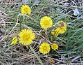 Coltsfoot in flower - geograph.org.uk - 724619.jpg