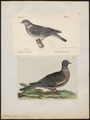 Columba palumbus - 1700-1880 - Print - Iconographia Zoologica - Special Collections University of Amsterdam - UBA01 IZ15600175.tif