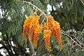 ColvilleaRacemosa pj.JPG