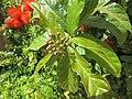 Combretum constrictum - Powderpuff Combretum 2014 (13).jpg
