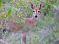Common Duiker (Sylvicapra grimmia) female (11839101354).jpg