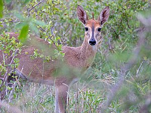 Common duiker - The female of common duiker at the Kruger National Park. Female is smaller than male and hornless.