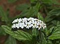 Common Heliotrope (Heliotropium steudneri) close-up (11545237924).jpg