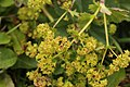 Common Lady's Mantle - Alchemilla vulgaris (44217597121).jpg