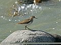 Common Sandpiper (Actitis hypoleucos) (27934223650).jpg