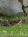 Common Snipe (Gallinago gallinago) (28110850212).jpg