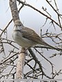 Common Whitethroat (Sylvia communis) (44757705820).jpg