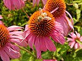 Cone flower with bee.jpg