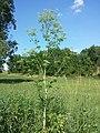 Conium maculatum sl3.jpg