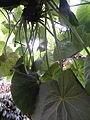 Conservatoire du bégonia 2015. Begonia 'Zelda's Problem' x carrieae 02.JPG