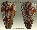 Conus cordigera 1.jpg