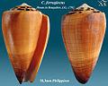 Conus ferrugineus 3.jpg
