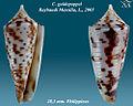 Conus guidopoppei 1.jpg