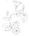 Convolvulus sepium ellywa.png
