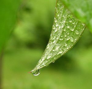 Dew - Image: Cool drop